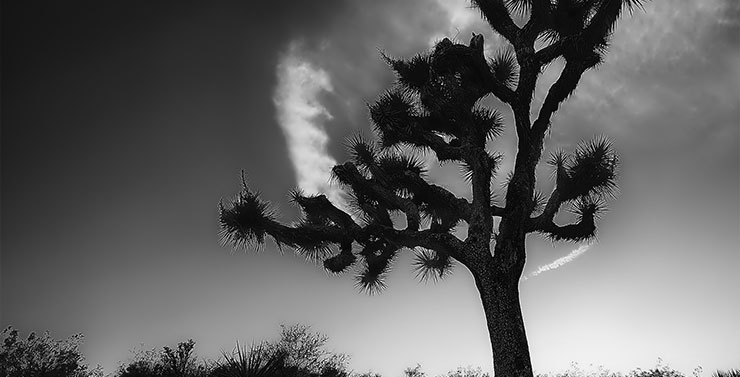 Der Joshua Tree