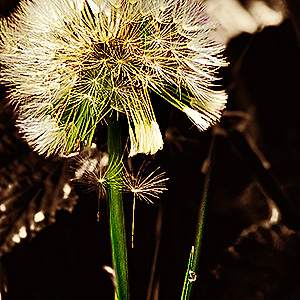 image from Dandelion flowers by kfphotography